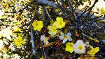 봄을 영접하는 영춘화(迎春花, Jasminum nudiflorum)