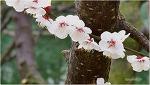 봄꽃사랑 살구꽃