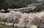 청풍호 벚꽃축제 2017 봄꽃구경과 청풍랜드 번지점프 도전하세요