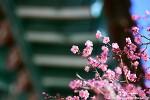 양산 통도사 홍매화, 추운 겨울을 깨치고 화사하게 꽃을 피우다.