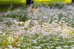 밀양 삼문송림 구절초, 하얗게 꽃눈이 내린 가을 풍경