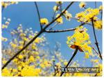 봄 추천 여행지, 구례 산수유 꽃 축제를 소개합니다.