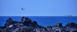 물수리 Osprey 제주여행中
