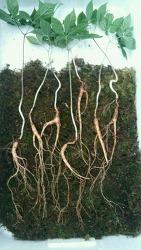 산삼감정의뢰들어온 삼 사진 (산원초)
