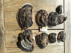 감정의뢰 들어온 소나무잔나비걸상버섯 사진 기록 (산원초)