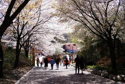 서울 어린이 대공원 벚꽃