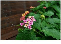 란타나(칠변화) 효능 - 기관지질환.눈병.해열.위통/약용식물/유독성식물