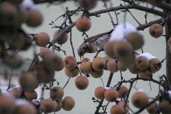 혹한과 폭설 불구하고 새에게 밥 주는 사과나무
