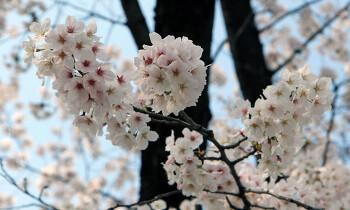 여의도 벗꽃축제, 만개한 벗꽃아래서 봄날의 데이트
