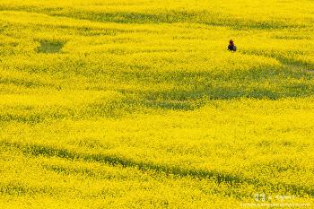 부산 대저생태공원, 유채꽃으로 노랗게 물든 봄날의 풍경