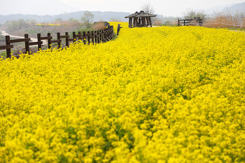 노란 물결 넘실대는 주남저수지 유채꽃 탐방로( 창원명소 )