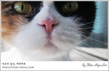 [적묘의 고양이]친구님네 스코티쉬폴드,Scottish Fold,동글동글 강아지 얼굴