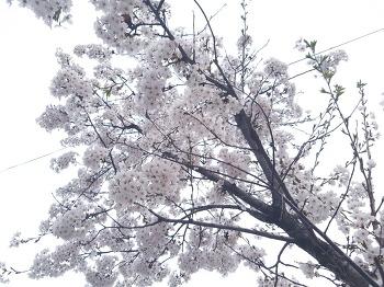 2017, 벚꽃