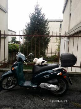 이탈리아 고양이 Gatto italiano