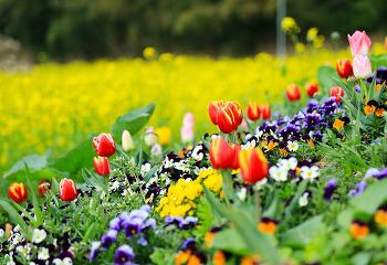 노란 유채향으로 물들어 가는 창원 도심속 유채꽃 단지!(창원명소/창원여행)