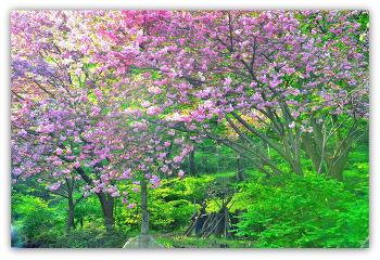 문수사 겹 벚 꽃 4ㅡ29