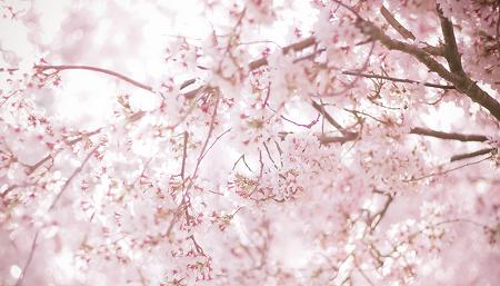 """효성인이 추천하는 """"나만 알고 싶은 벚꽃명소"""""""