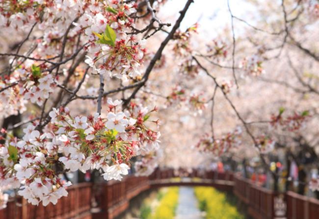 봄날의 화폭 속으로, 벚꽃 따라 떠나는 여행