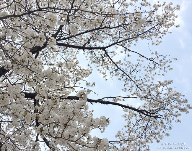 지하철 타고 만나는 마지막 벚꽃. 어린이대공원에 흩날리는 벚꽃 - 지하철5.7호선