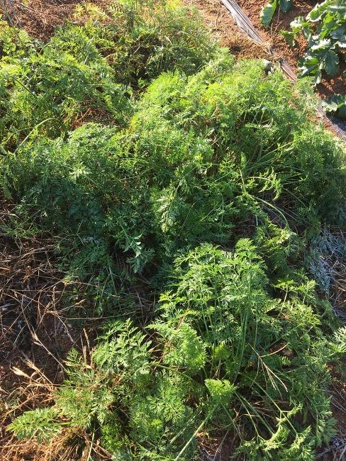주말농장 가을이야기 _ 당근, 시금치 그리고 당근쥬스