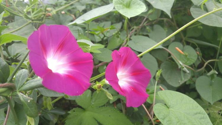 [포토에세이] 이 가을에 활짝 핀 나팔꽃, 태양을 부끄러워하는 꽃이랍니다/나팔꽃 꽃말