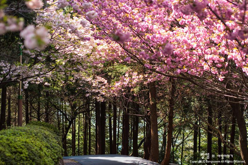 부산 민주공원 겹벚꽃, 벚꽃엔딩? 다시 시작되는 벚꽃축제