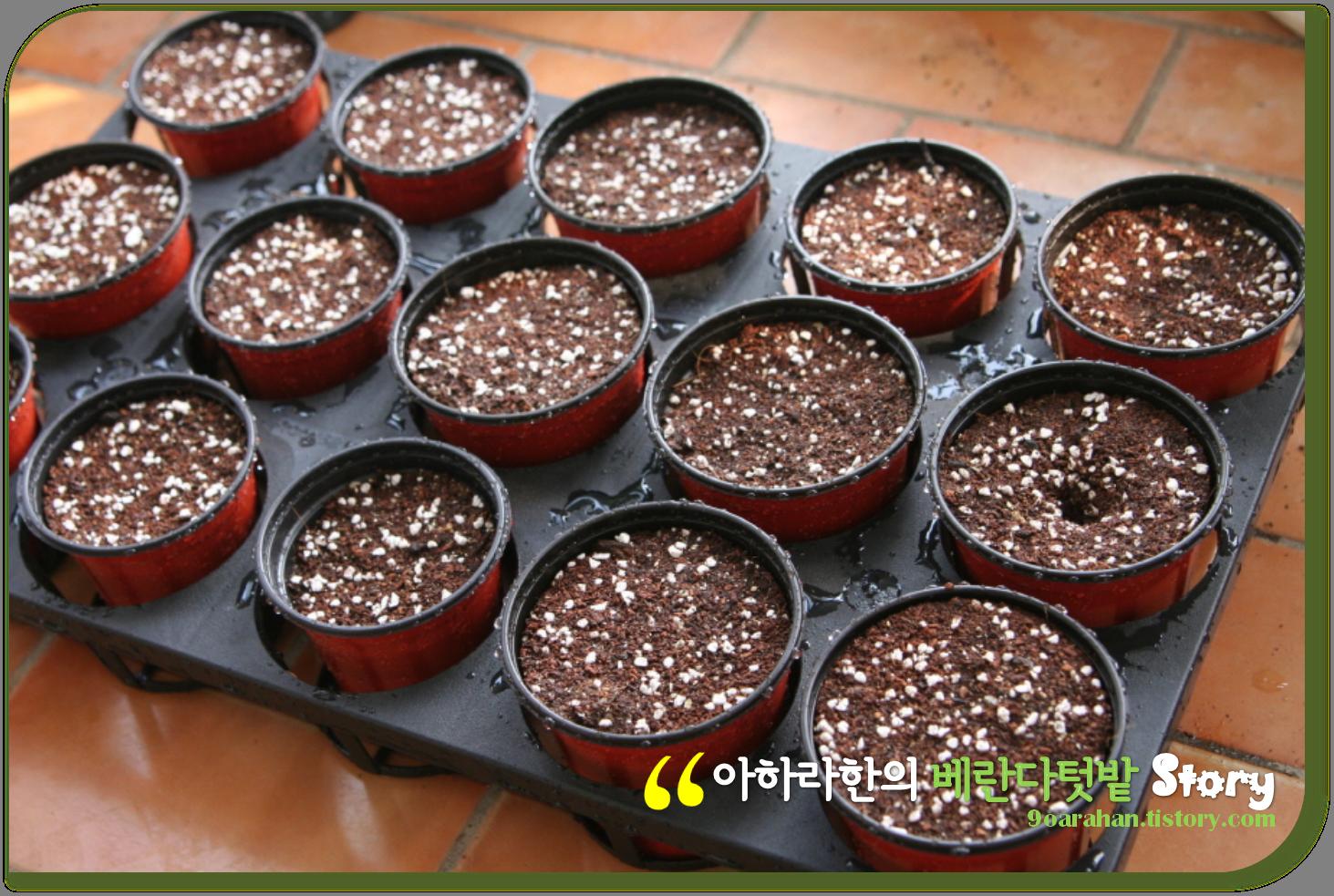 아파트 베란다 채소밭에서 수확한 상추, 상추 수확하는 방법 [상추키우기]