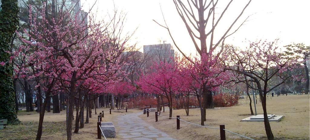 국채보상공원에 활짝 핀 매화꽃 by Ara