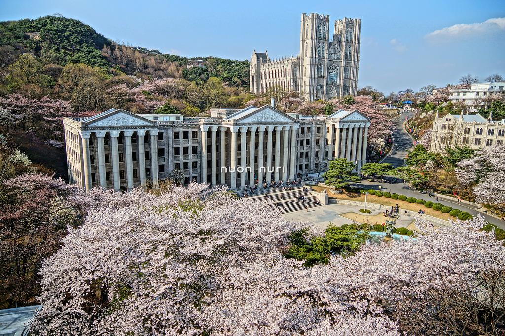 경희대 경희대학교 벚꽃놀이 벚꽃축제