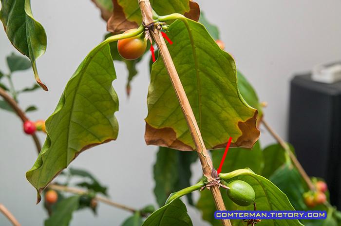 커피나무 갈변 증상