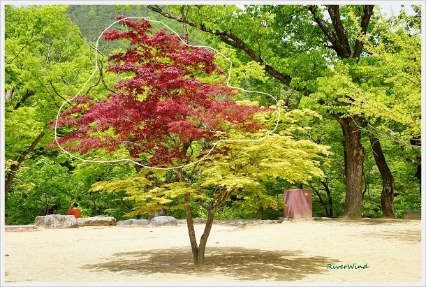 한몸 다른나무 -동목(同木)이종(異種)단풍나무
