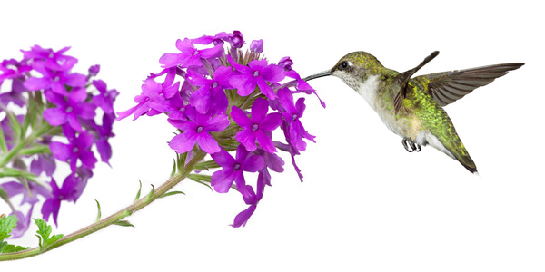 Free Stock Photo JPG file Hummingbird nectar HD picture 02