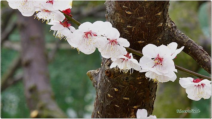 봄꽃사랑 살구꽃/OmnisLog