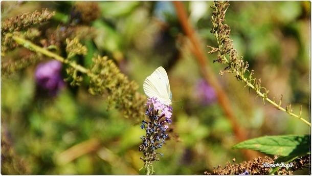 붓들레아와 나비