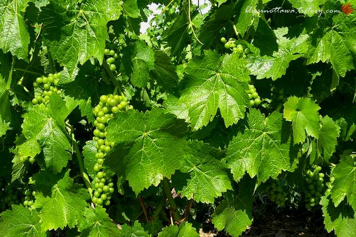 온타리오 주는 와인이 유명합니다