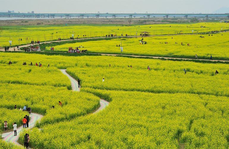 낙동강유채꽃축제