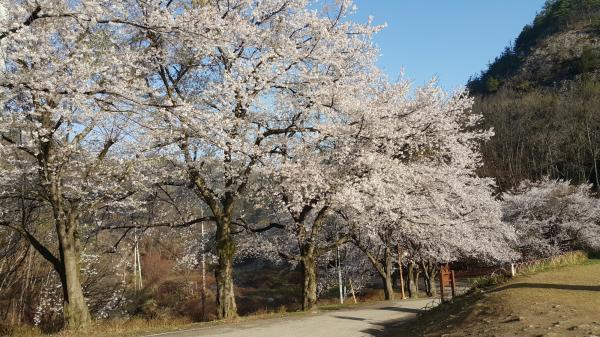 마이산 벚꽃
