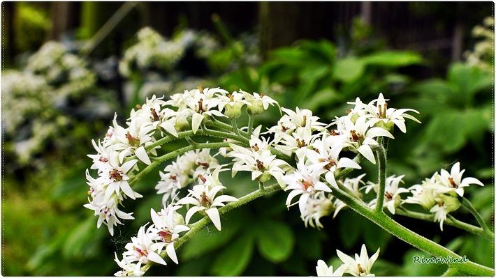 돌단풍 하얀꽃