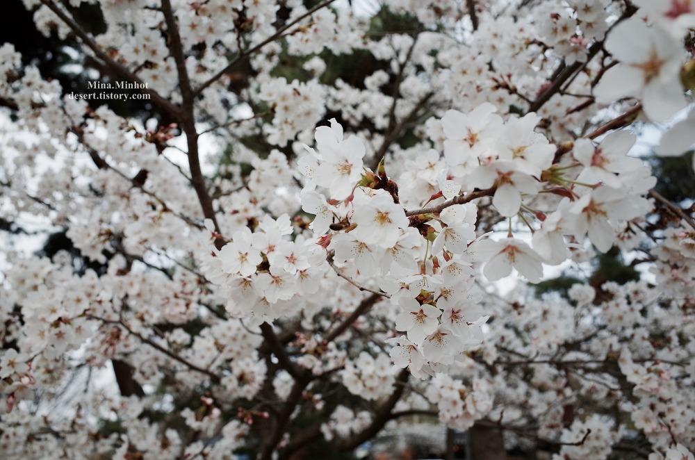부여 구드래공원 (부여 여행, 부여 가볼만한곳, 부여 벚꽃)