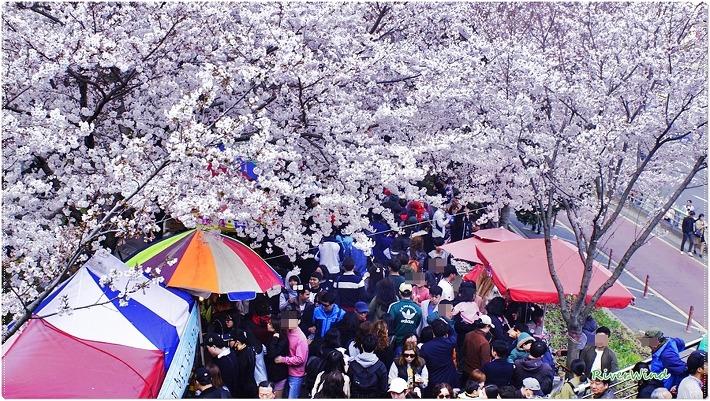 낙동제방 벚꽃 축제