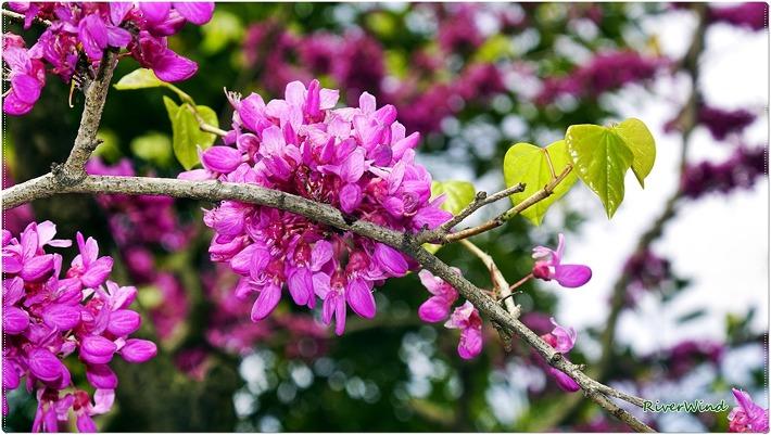 박태기나무 꽃 자형화(紫荊花)