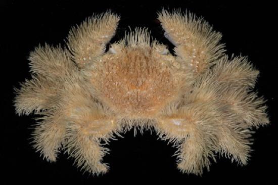 Yeti crab Hairy crab Kiwa hirsuta