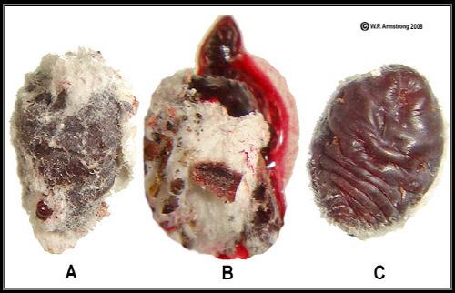 연지벌레 cochineal insect