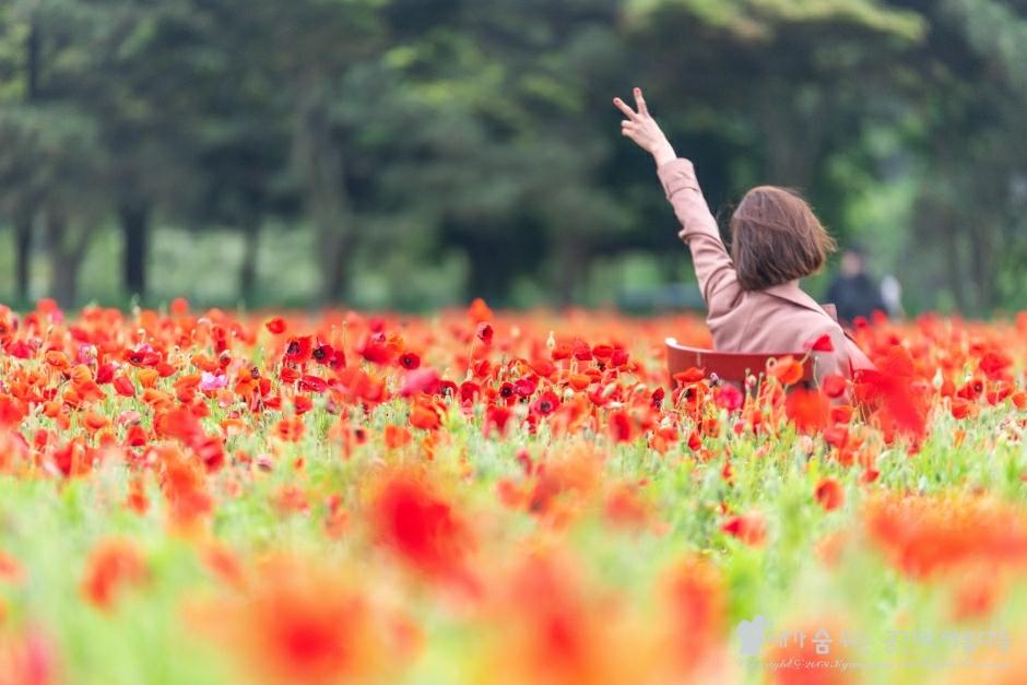 렛츠런팜 꽃양귀비, 지금 제주도의 가장 뜨거운 명소