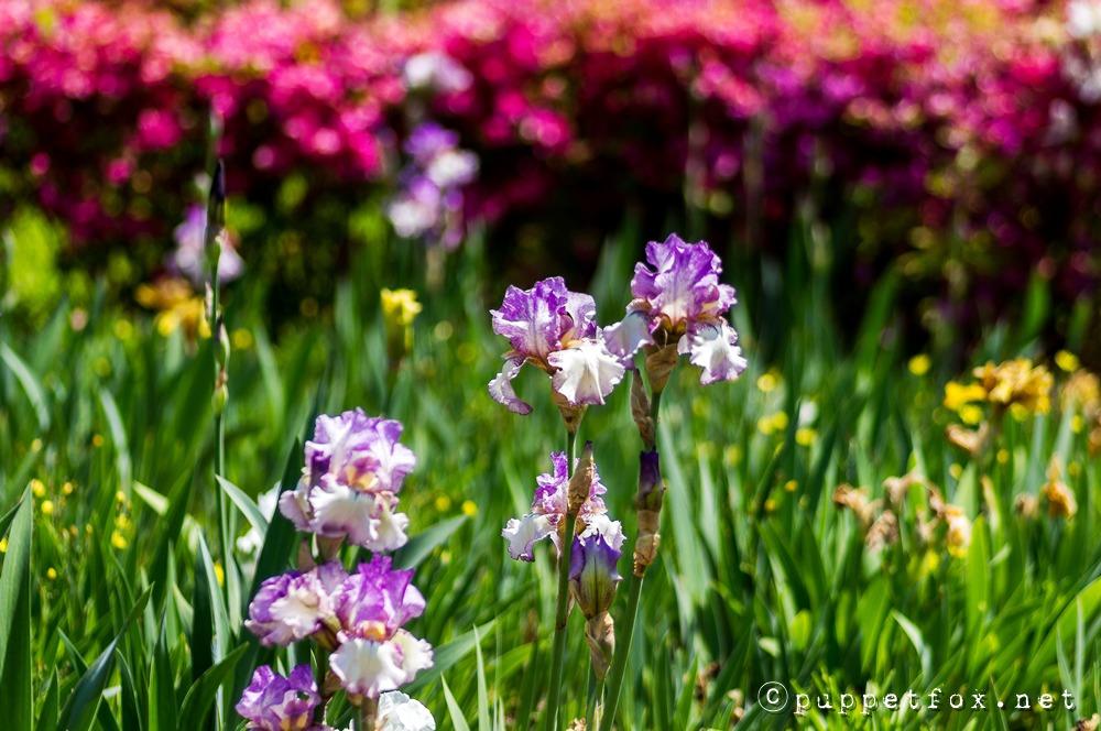 창포원-붓꽃-0511-6