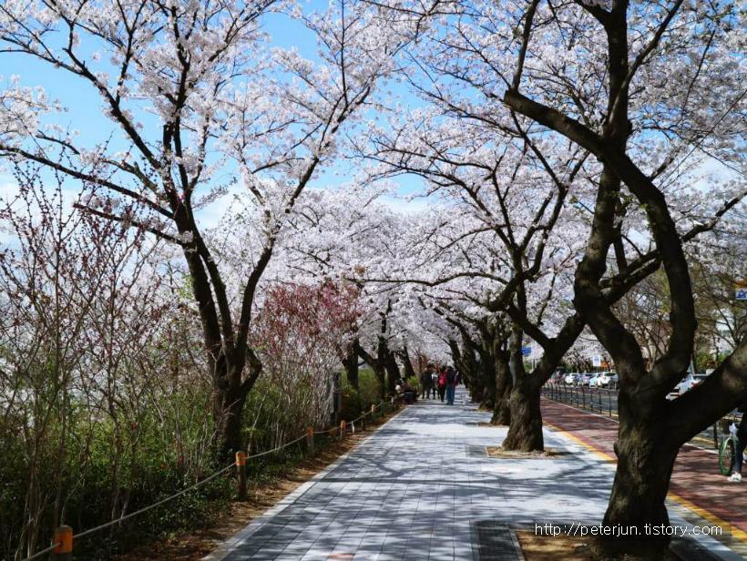 윤중로 벚꽃 길