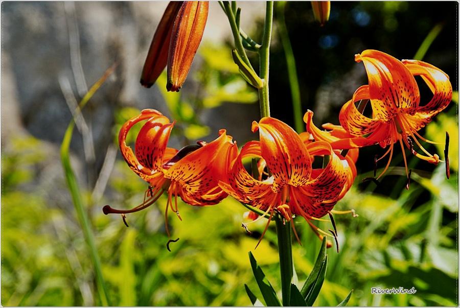 참나리 꽃  Lilium lancifolium