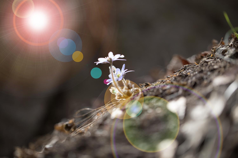노루귀의  봄나들이 ..