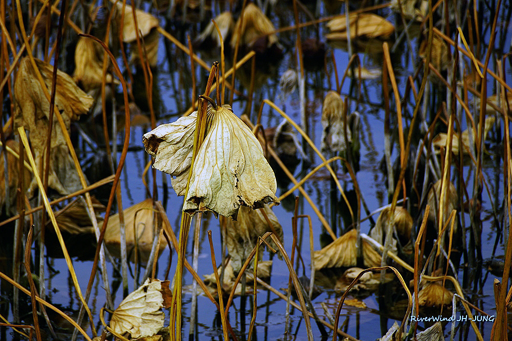 연지(蓮池)의 처참한 겨울